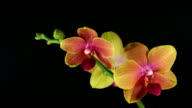 Orchid Phalaenopsis  blooming  HD video