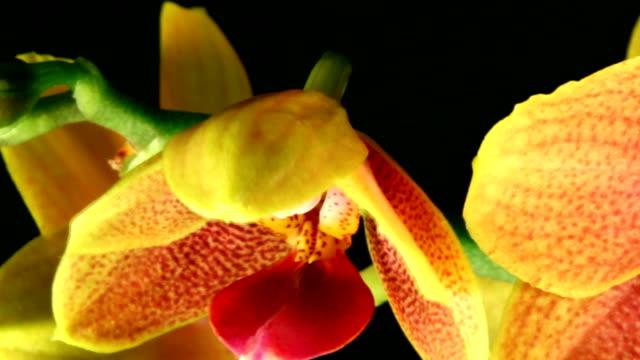 Orchid Phalaenopsis  blooming video