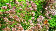 Oregano (Origanum vulgare) video