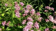 oregano wild marjoram medical flowers in wind video