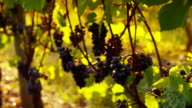Oregon Pinot Noir grapes at sunrise video