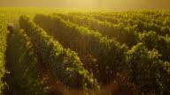 Oregon Vineyard at sunrise video