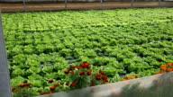 Organic and fresh vegetable garden video