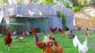 Organic chicken farm, domestic chick livestock farming field, green grass video
