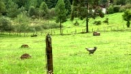 Organic farming in outdoor family agriculture. Rooster walking by himself. video