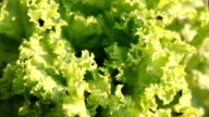 Organic Garden of Green Vegetable video