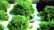 Organic hydroponic vegetable cultivation farm. video