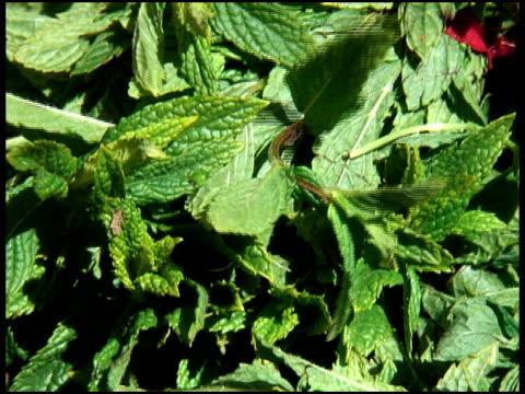Organic Mint video