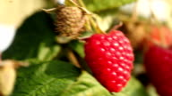 Organic raspberries with leafs - Close up video