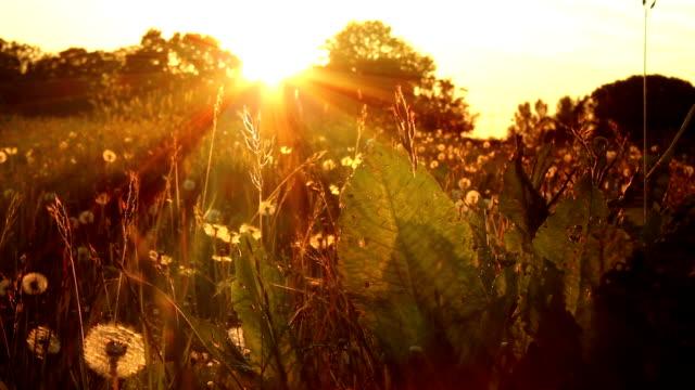 Organic Sunbeam Meadow video
