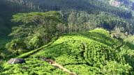 organic tea crop plantation sri lanka video