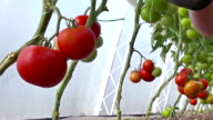 Organically-grown tomatoes video