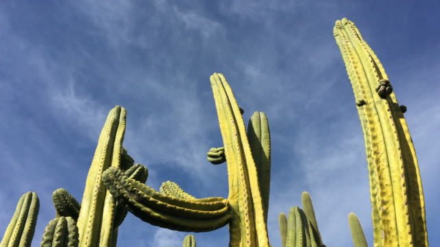 Organpipe cactus native to Mexico and the United States video