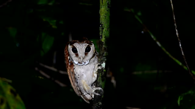 Oriental bay owl video