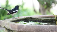 Oriental magpie robin bird drinking water in the clay basin video