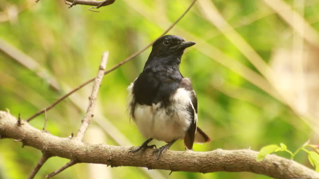 Oriental Magpie Robin in action video