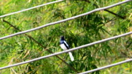 Oriental magpie robin is sings. video