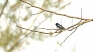 Oriental Magpie Robin resting on the twig video