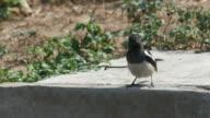 oriental magpie robin rub its beak on the floor video