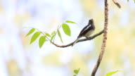 Oriental Magpie Robin video