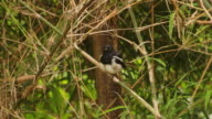 Oriental Magpie Robin video