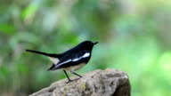 oriental magpie-robin bird video