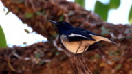 oriental magpie-robin is standing on the tree branch and scouting around video