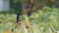 Oriental magpie-robin standing on sunflower shoot video