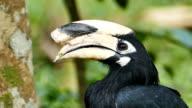 Oriental pied hornbill video