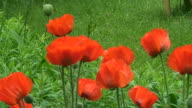Oriental poppy (papaver orientale) 3 video