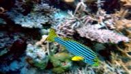 Oriental sweetlips on coral reef - Maldives video