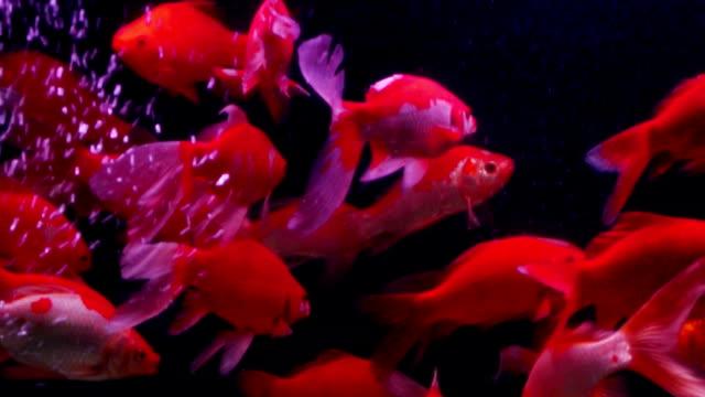 ornamental fish video