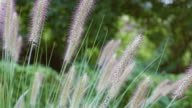 Ornamental grass easily moves in wind video