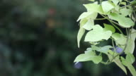 ornamental sweet potato vine video