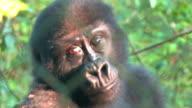 Orphaned Baby Gorilla video