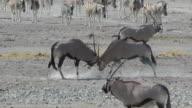 oryx fighting video