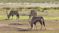 Oryx in the Kalahari video