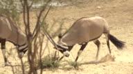 OryxAntelopes video