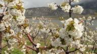 Osoyoos Cherry Orchard Blossoms, Okanagan, British Columbia video