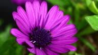 Osteospermun eklonis blooming 4K video
