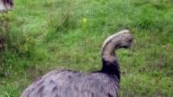 Ostrich bird video