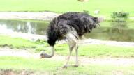 Ostrich eating grass video