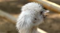ostrich face video