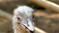 Ostrich head close up video