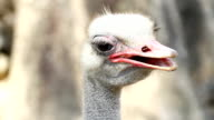 Ostrich head closeup video