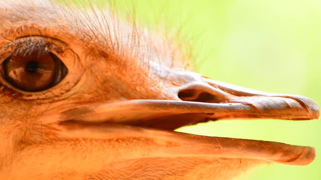Ostrich head video