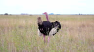 Ostrich in African safari video