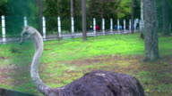 ostrich in captivity video