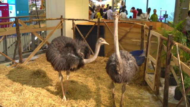 ostrich in farm video