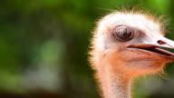 Ostrich portrait video